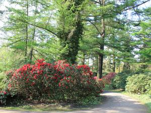 Roter Rhododendron im Nordosten des Stadtpark Hamburg