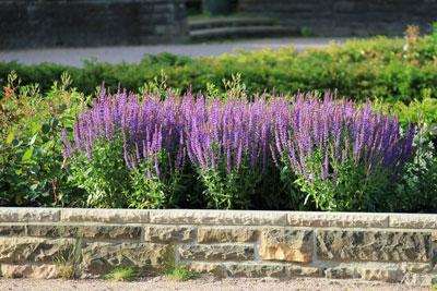 Lavendel im Rosengarten