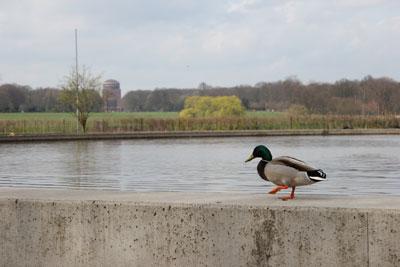Ente spaziert auf dem Rand des Modellbootbeckens