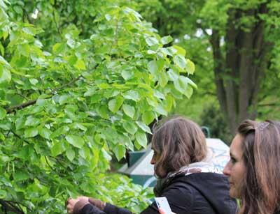 Lindenblätter sind essbar