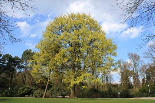 Baum beim Lesecafe am Rosengarten